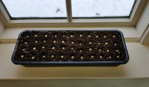 planted pea shoots 2