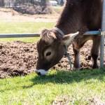 近江牛が消えるって本当?おいしい近江牛の通販と口コミにコロナの影響で畜産業がヤバイ噂を調査します。