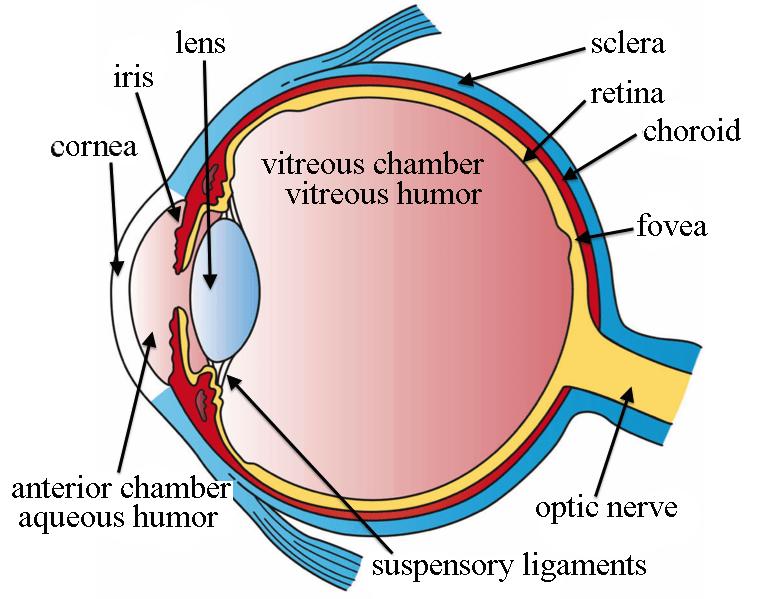 what does the eye look like? \u2013 diagram of the eye harvard eye Shadow Eye Diagram