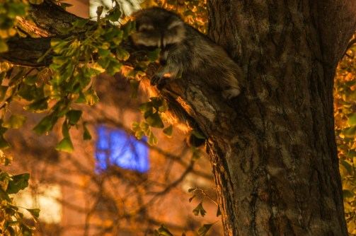 Someone walking by while I was shooting pointed out the baby racoon sleeping up in a tree!