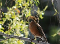 Robin with nest-making materials