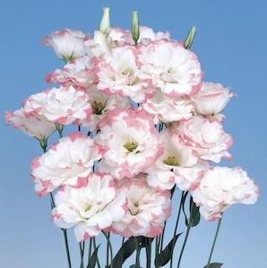 Lisianthus Echo Pink Picotee2