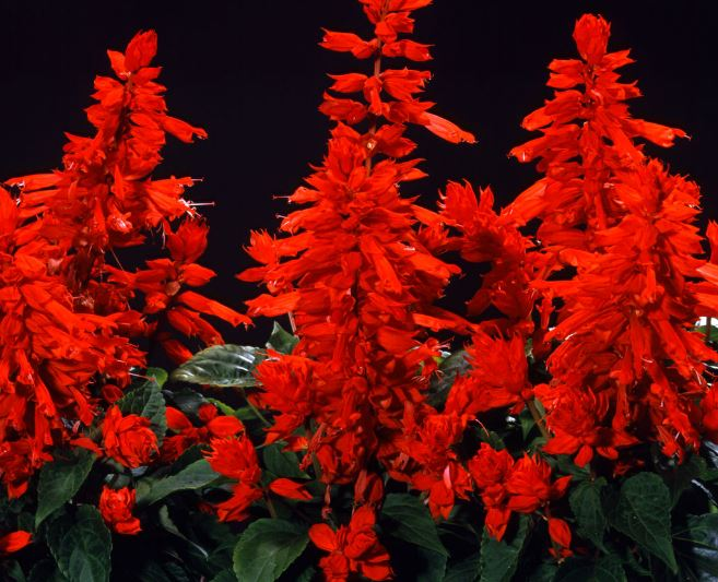 Salvia Carabiniere Red