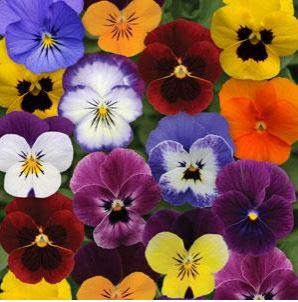 Viola Sorbet XP Autumn Select Mix