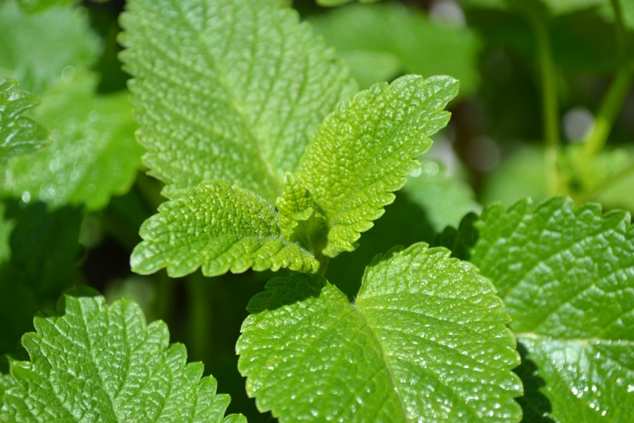 lemon balm stock