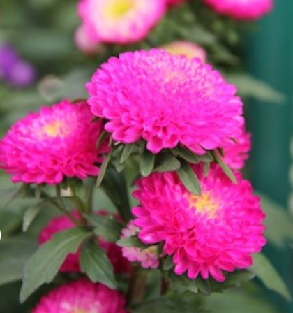 Aster Bonita Rose