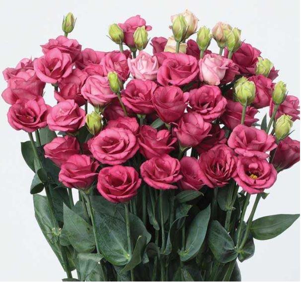 Lisianthus Doublini Rose