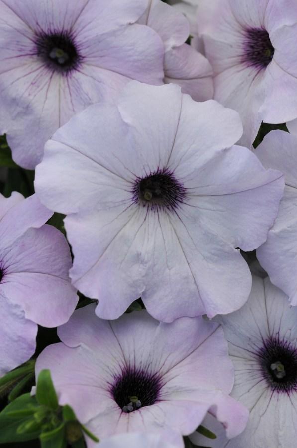 Easy Wave Silver Petunia Color Code: 679c-White PAS 2016, #10E-S1-4-1 Bloom, Seed 08.13 Santa Paula, Mark Widhalm EasyWaveSilver_02.JPG PET13-15936.JPG