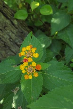 Orange and yellow native lantana