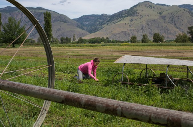 Photo of Erika Zavala harvesting carrots on an organic farm in Cawston, British Columbia. Photo Credit Ruth Fremson of the NY Times.