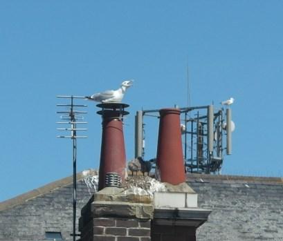 Seagull guarding chicks