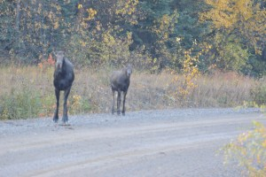 Moose hunting in British Columbia