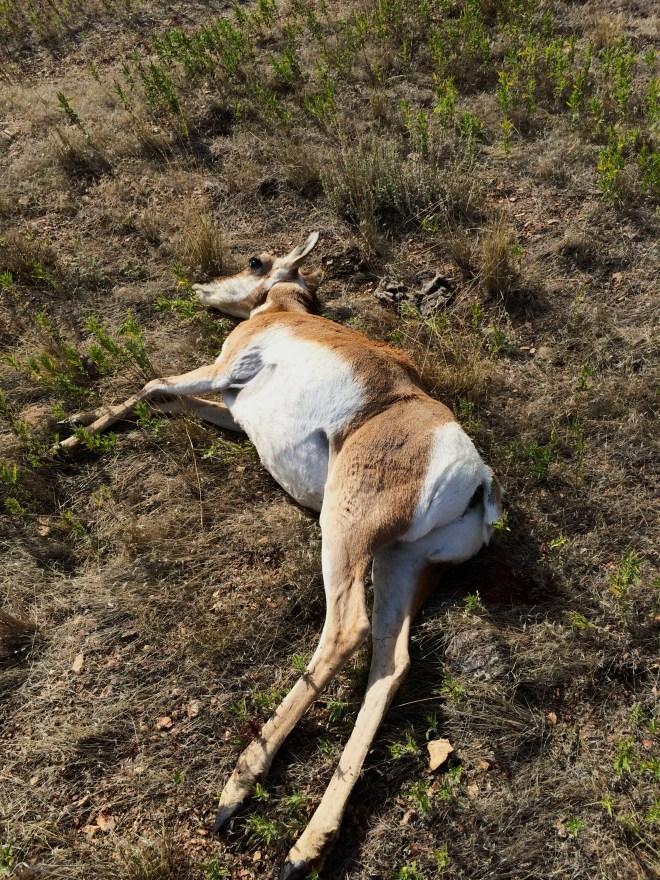 Antelope Doe