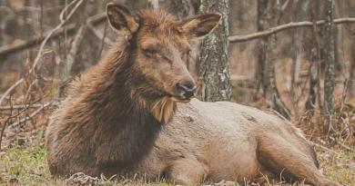 PA Cow Elk