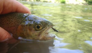 Flyfishing for trout
