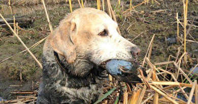Yellow Lab waterfowler