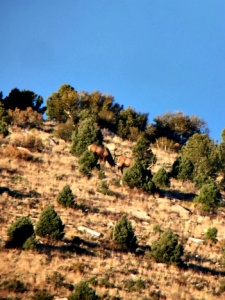 Nevada Elk
