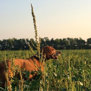 Dove Hunting with Dogs