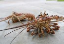 Film: How to Clean a Spiny Lobster