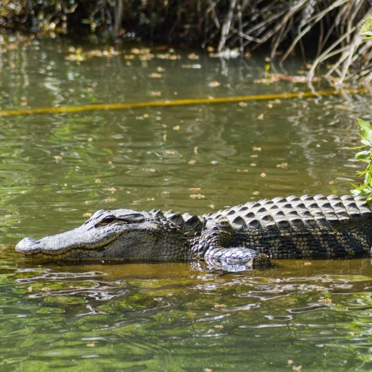 Episode 217: Alligator – The Food that Bites Back