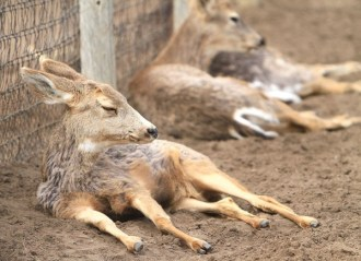 These mule deer rest on a warm March 20 afternoon at the Hutchinson Zoo. Wendy Nugent / The Edge