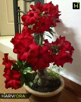 flowering plant, Bunchy Red (Single petal dark red Adenium Bonsai Plant)[code-HMBR], Harvyora, Harvyora