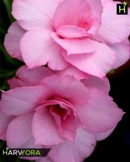 flowering plant, Fathumalatha (Triple petal pink Adenium Bonsai Plant)[code-HMF], Harvyora, Harvyora