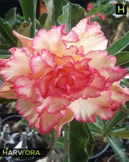 adenium plant, Triple Shower(Triple petal yellow rose adenium bonsai plant )[code -HMTS], Harvyora