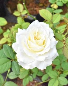 white rose, White Rose Pack of 4 (Small), Harvyora