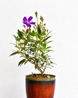 , Melastoma lepidota( Violet colored Flowering plant ), Harvyora