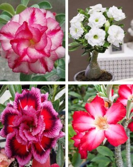 , Adenium Bonsai Four Color Combo (Package of Four, Dancing Lady-Valiant of You-Classic-Earth Red)[code-HMFC09], Harvyora, Harvyora