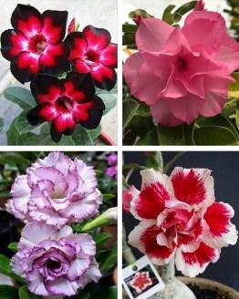 , Adenium Bonsai Four Color Combo (Package of Four, Four Your Memory – Violet Splash –Santa claus – Fathumalatha)[code : HMFC12, Harvyora, Harvyora