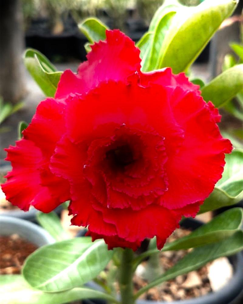 , 100 varieties, Harvyora