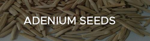 Adenium Plants, Adenium plants online india. Lagest adenium plant collection at your door step. Great discounts on grafted adenium bonsai, Harvyora