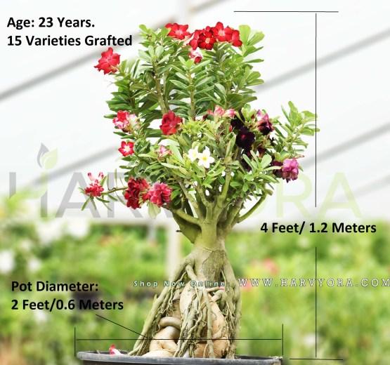 adenium multi grafted varieties