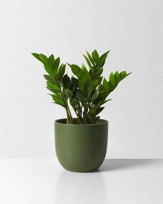 Zamiocalcus Zamifolia 'ZZ Plant'