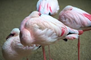Bilder: Zwergflamingos im Zoo Aschersleben.