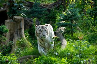 Bild: Weißer Tiger im Zoo Aschersleben.