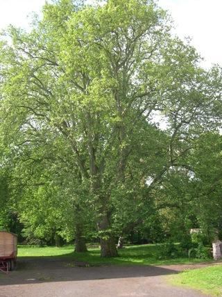 Bild: Alte Platane im Schlosspark zu Roßla.