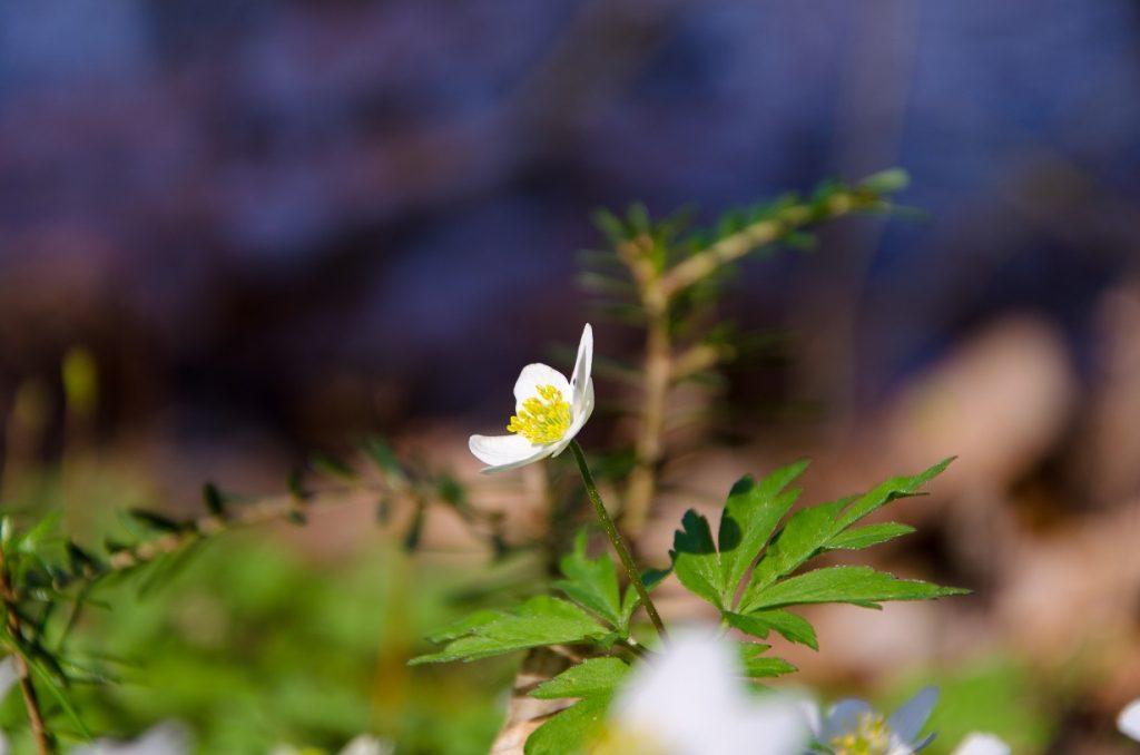 Wald Blume