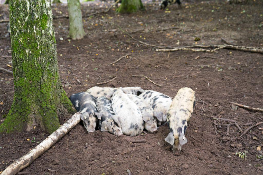 Ivenacker Eichen 12 Schweine