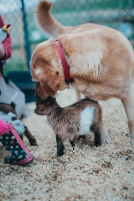 Farm dog licking off baby dwarf goats unique family photos lifestyle photography Los Angeles