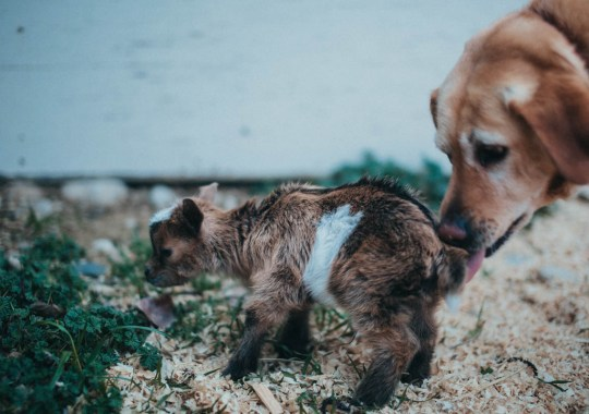 farm dog licking off dwarf baby goat