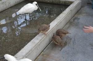 掛川花鳥園イワシャコ