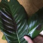 腫瘍が小さくなるといわれているビワの葉こんにゃく温湿布のやり方(入院中バージョン)