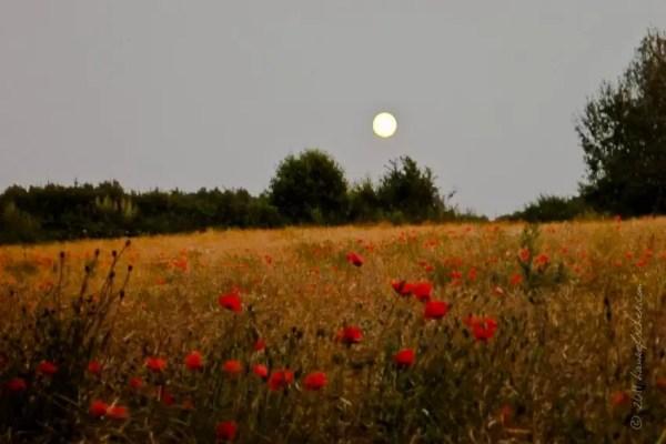 pavot sous la lune à Schleswig-Holstein