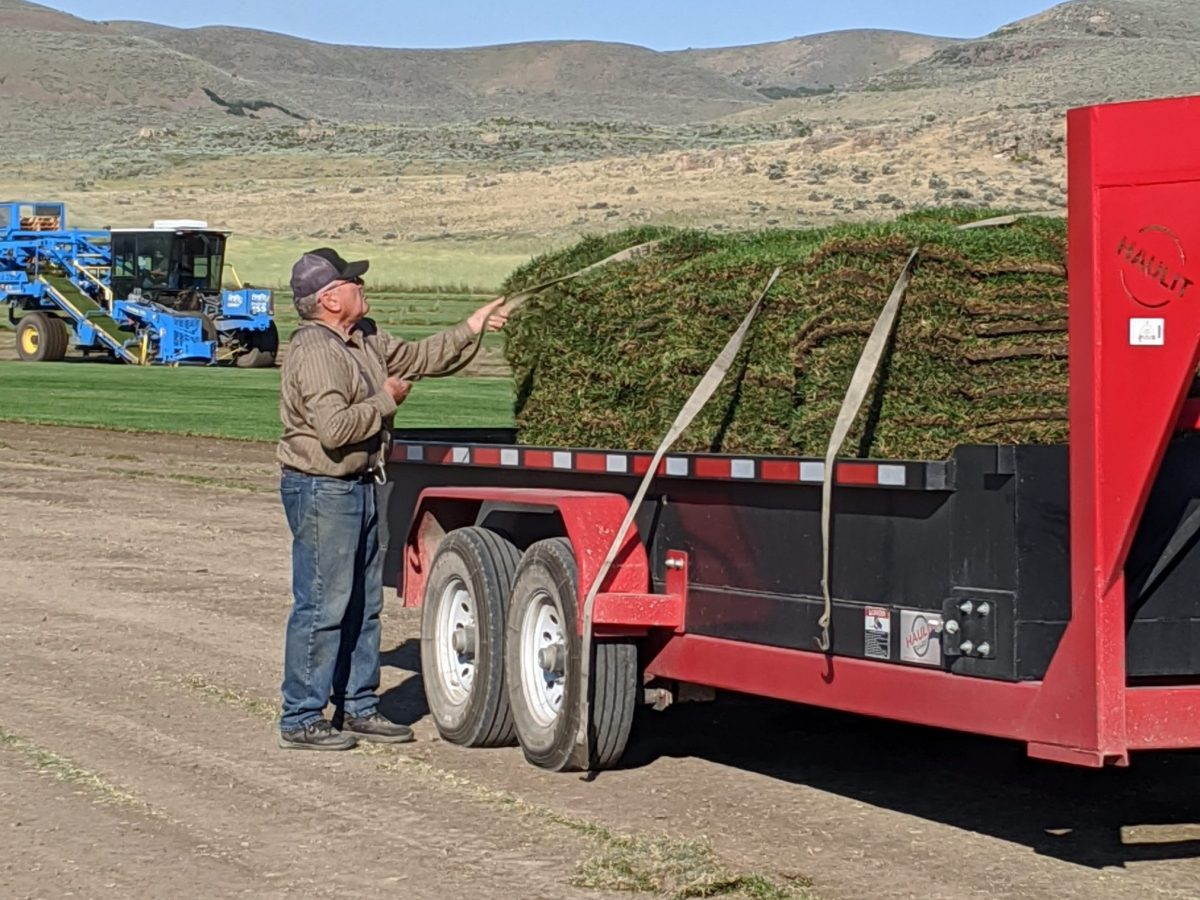 man securing sod with tie down straps on his trailer