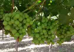 Imports:  Peruvian Grapes to Bounce Back; Drop in South African Fruit Imports is Seen
