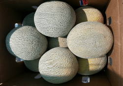 Melon Varieties are Added to Mix at Dan Andrews Farms