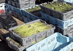 Michigan Fresh Asparagus Volume is Increasing